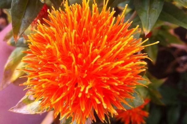 """红花的功效与作用吃法,每日一药——妇科常用药""""红花"""""""