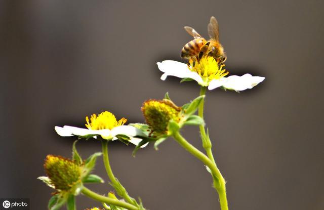 蜂胶的吃法,如何正确服用蜂胶