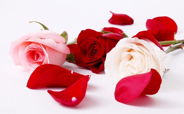 红色的品种,认识花材 | 玫瑰小课堂之红玫瑰品种