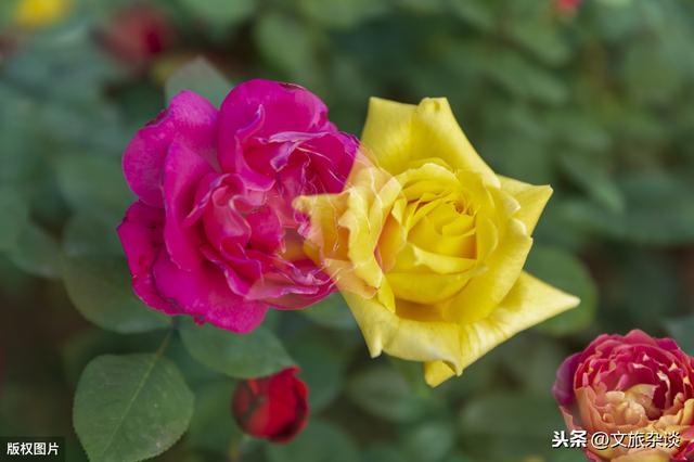 花园的诗,唯有此花开不厌,一年常占四时春—花中皇后,十二首月季诗词欣赏