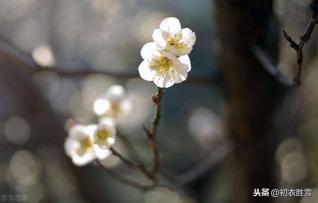 梅的特征,梅花丽句:满城桃李不能春,独向雪花深处,露花身