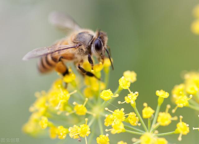 蜜蜂的寓意,罗隐著名的一首咏蜂诗,说着蜜蜂,却别有隐喻