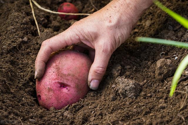 土豆品种,外形似红薯,被疑转基因,红皮土豆本是特色蔬菜,缘何年年滞销