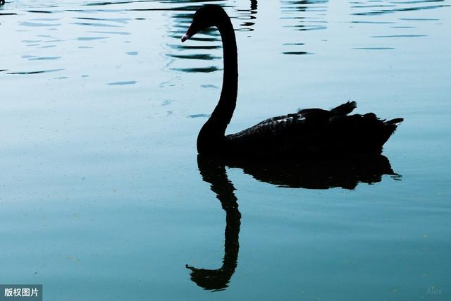 """黑天鹅的寓意,把极端事件当作新的起点——新冠疫情下谈""""黑天鹅""""理论(一)"""