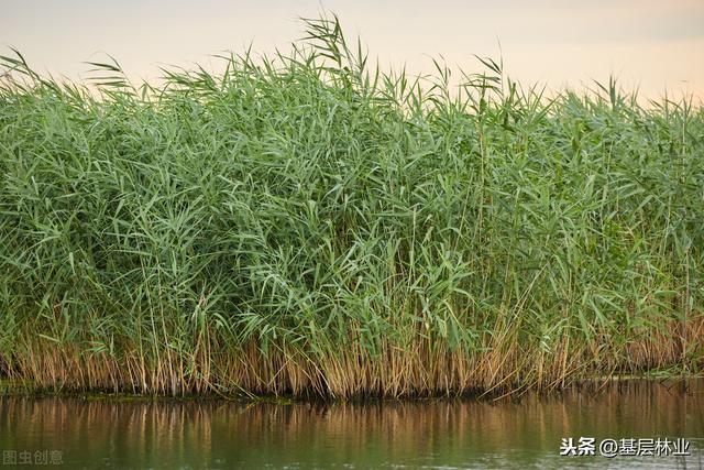 芦苇图片,芦苇:长江岸线复绿、生态修复不可或缺的植物