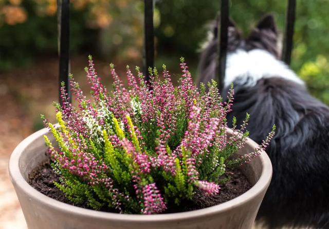 """种能在冬季寒冷的户外开花的观赏植物,零下10多度照样开花"""""""