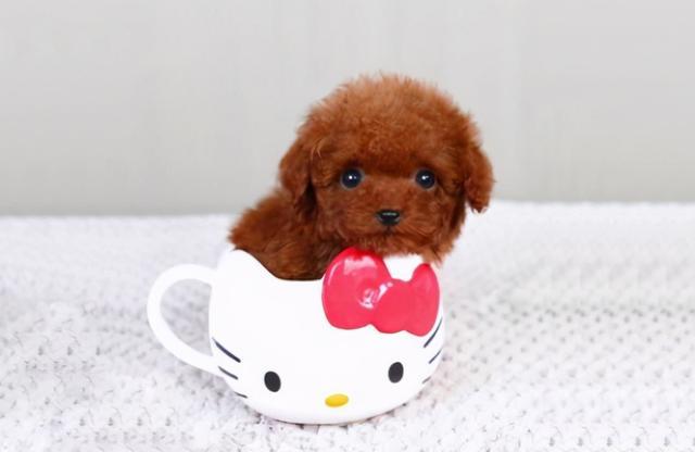 小型犬有哪些,那些便宜又好养的6种小型犬,每一只都不会让你失望