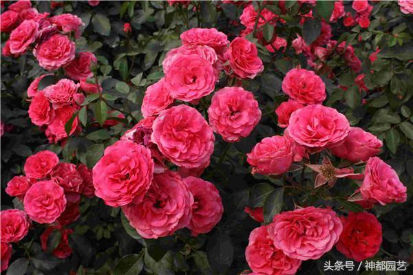 欧月品种,今年的欧月真是火,这20种月季,花型大,味道香