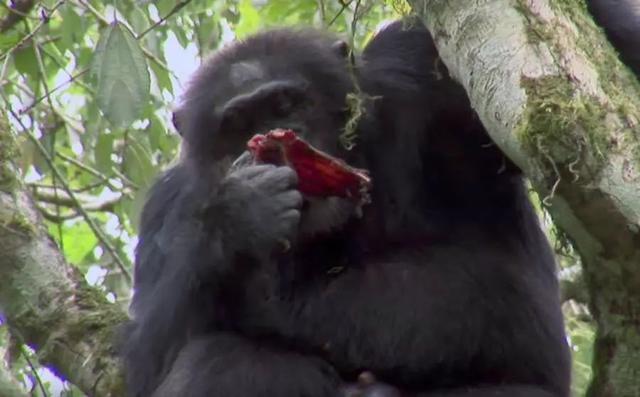 吃婴儿,15种会吃同类或自己孩子的动物,残忍的不仅仅是人类社会