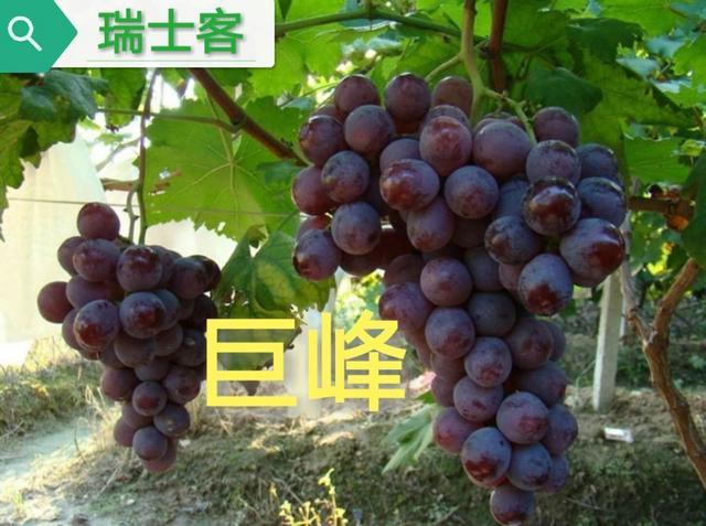 早熟葡萄品种,巨峰种植泛滥,这几种葡萄新品谁会成下一代新宠?选对了就赚钱了