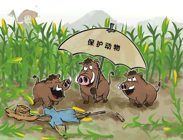 山猪出现于乡村地域:人与猪分歧持续恶化自然,小鸟重归树林、山