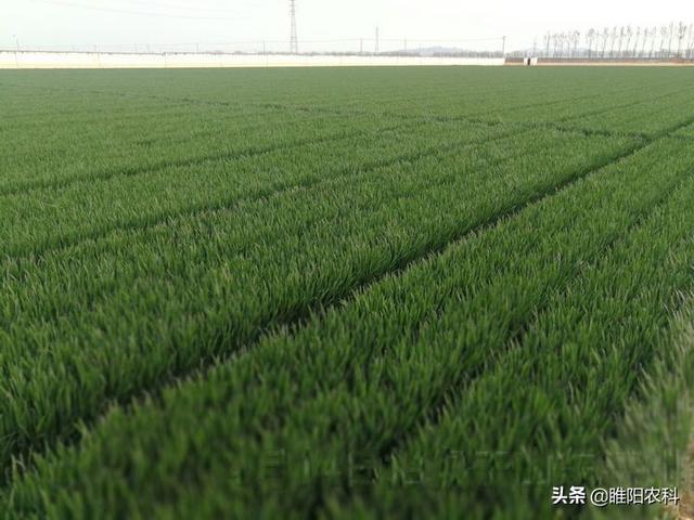 小麦新品种,这个小麦新品种全国高产纪录保持者,连续6年亩产均超过1600斤