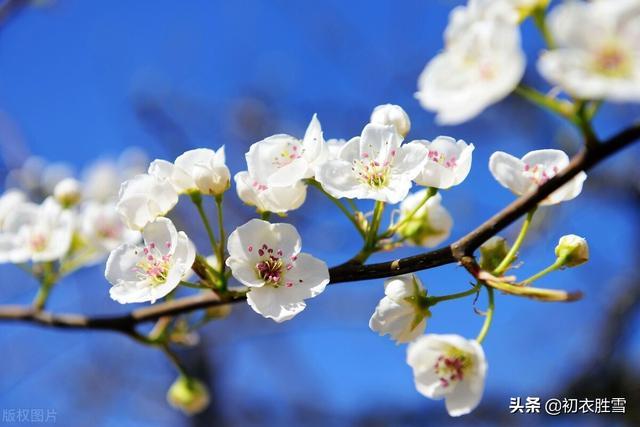 寓意是什么,白居易为什么用,梨花一枝春带雨形容杨贵妃,梨花有什么寓意?