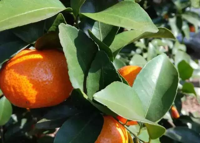 光合作用的意义,关于果树光合作用,如何来提高效率?保叶和养根很关键