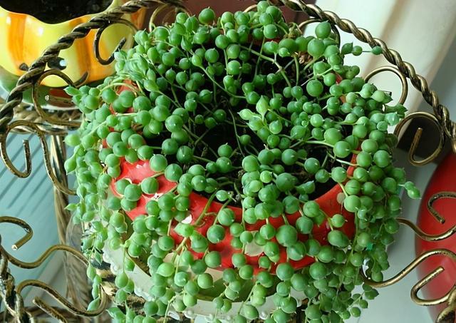 """吊兰品种,四种""""吊兰花"""",养在室内都好看,喜欢花的人了解下"""