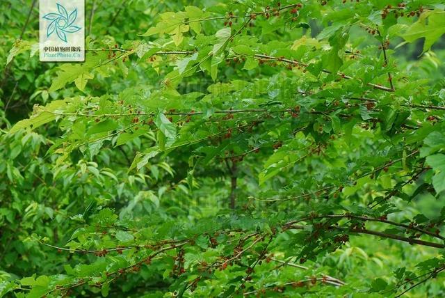 """树图片,名副其实的""""树中之王""""——桑树"""