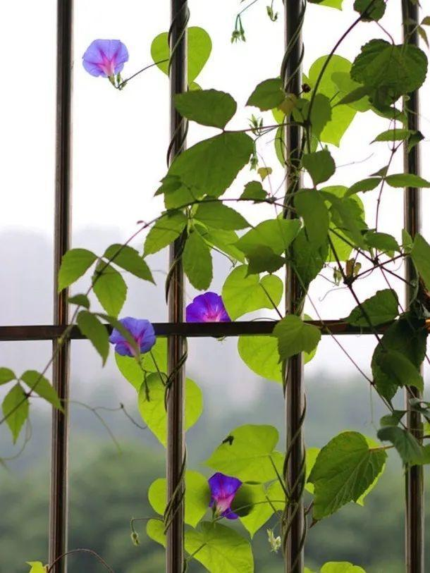 """种花,院墙上爬着长,屋里能降8℃"""""""