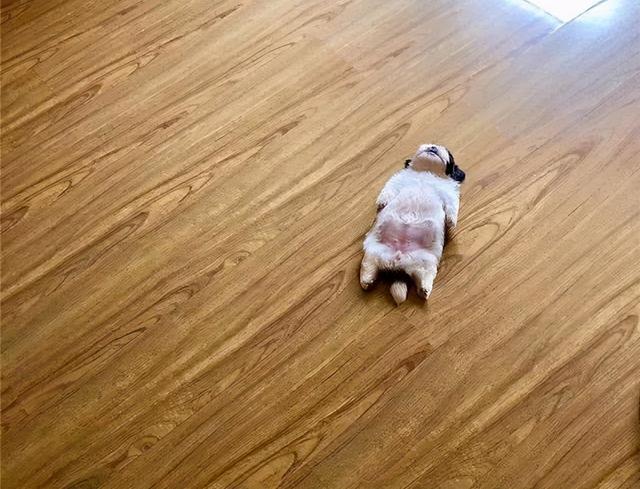小奶狗靠睡姿走紅,一年後它長大了,更可愛了,還有了40萬粉絲 家有萌寵 第1张