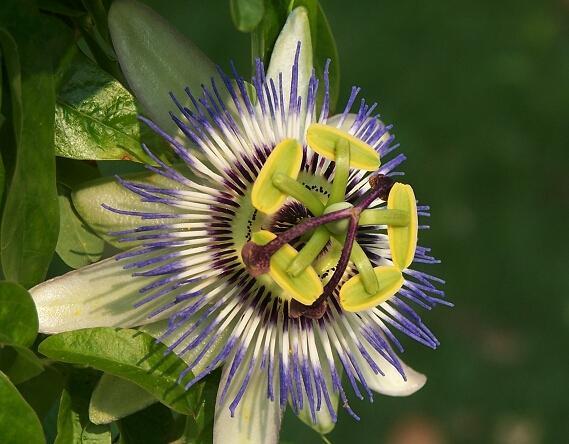 百香果图片,传说的日轮花图片其实是百香果花,花开的这么美丽