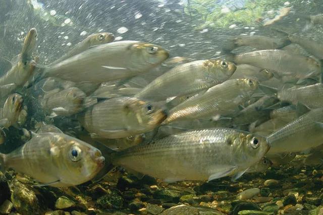 鲥鱼图片,长江三鲜之一的长江鲥鱼,30年前便近乎灭绝,爱钓鱼的你听说过吗