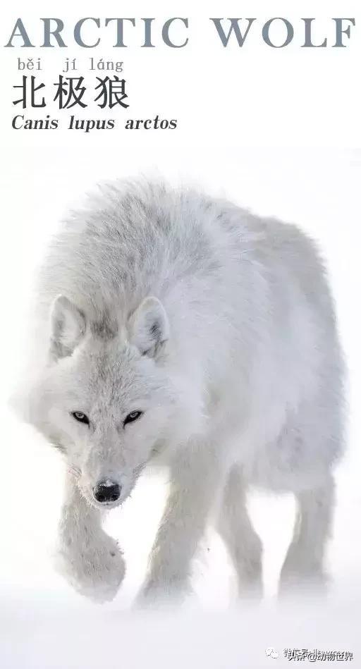 狼的简介,灰狼的亚种-北极狼