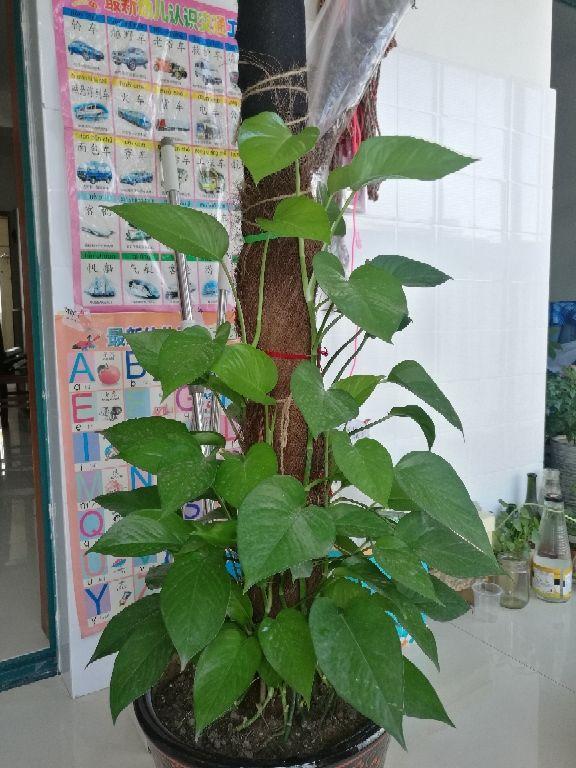 养在家里的大型绿植,盆盆都能长到一米二,气质优雅独特