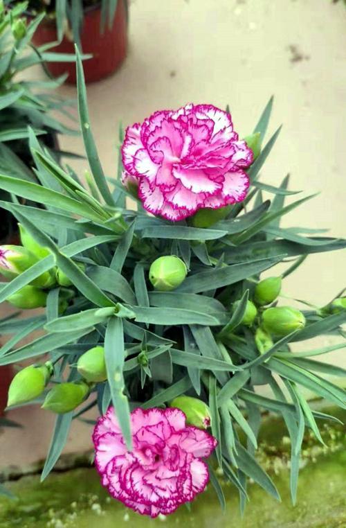 三种幸运花,开花带给人欢乐,你知道是哪几种吗?