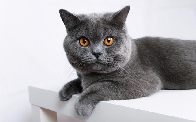 垃圾堆撿到一隻藍貓,細心照顧了一個月,病剛好,前主人來要貓了 家有萌寵 第5张