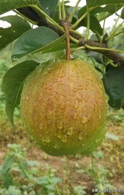 梨树新品种,新梨7号的引种表现及丰产栽培技术