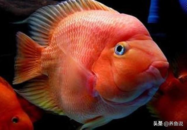 鹦鹉鱼图片,鹦鹉鱼为什么总扎堆在鱼缸角落?找到根源了,观赏鱼物种特性问题