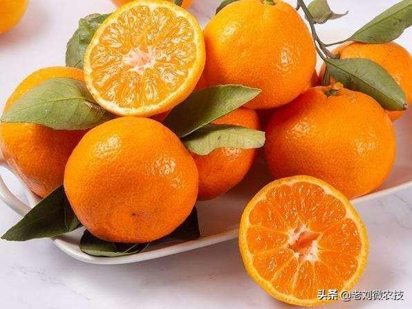 橘子品种,目前比较热门的柑橘品种是这些!果农们注意,不要盲目种植了