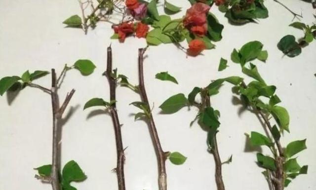 """种漂亮花,现在扦插正当时,成活率直线上升,喜欢别错过"""""""