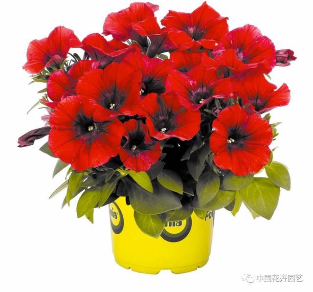 红色的品种,橙色多盟在中国市场推出100个红色品种 | 新品