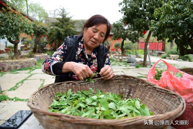 叶子的吃法,河南农村大妈摘树叶做美食,可凉拌、还能上笼蒸,吃法多样