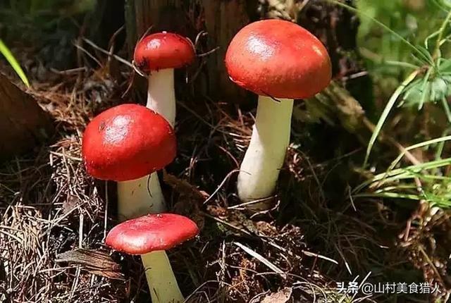 红菇的吃法,伏牛山野生菌类-红菇食谱(红菇豆腐汤、干红菇炒肉、红菇鸡蛋)