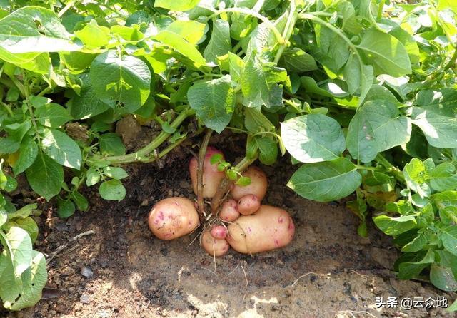 土豆品种,水稻冬闲田可种植马铃薯吗?种植什么品种较好,如何种植管理?