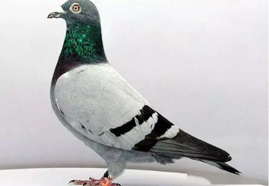 赛鸽成绩查询,一路赛线一路鸽,比赛赛线对赛鸽成绩影响大