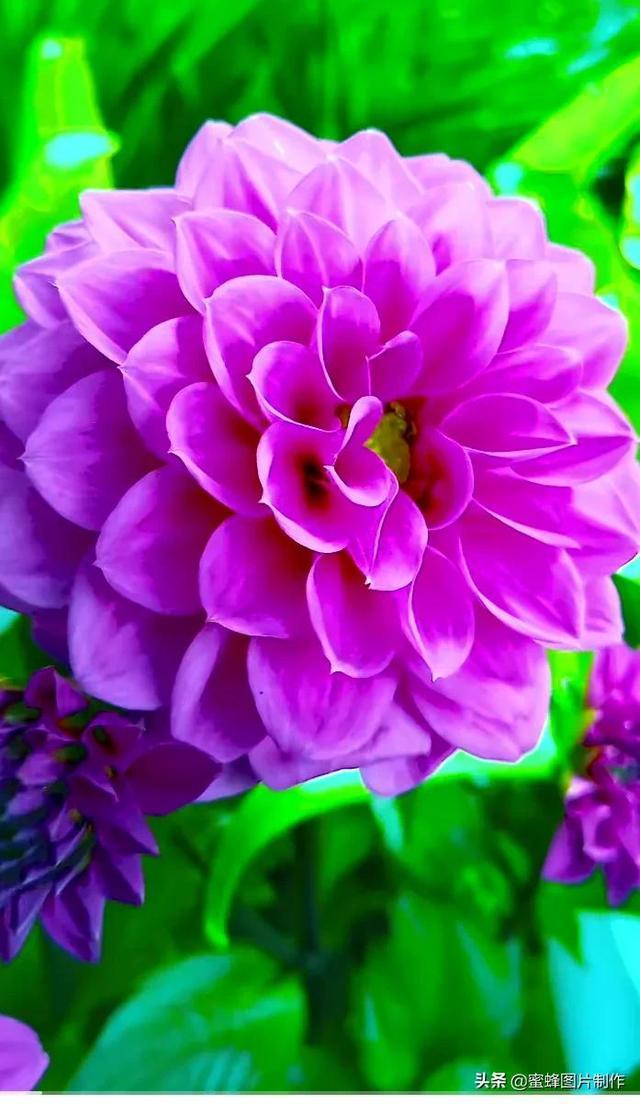 牡丹花图片,手机壁纸背景图,三月牡丹花开红艳艳