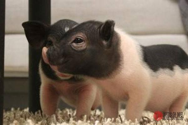 属牛女和属猪,属猪女配什么属相最好 属猪女最佳婚配
