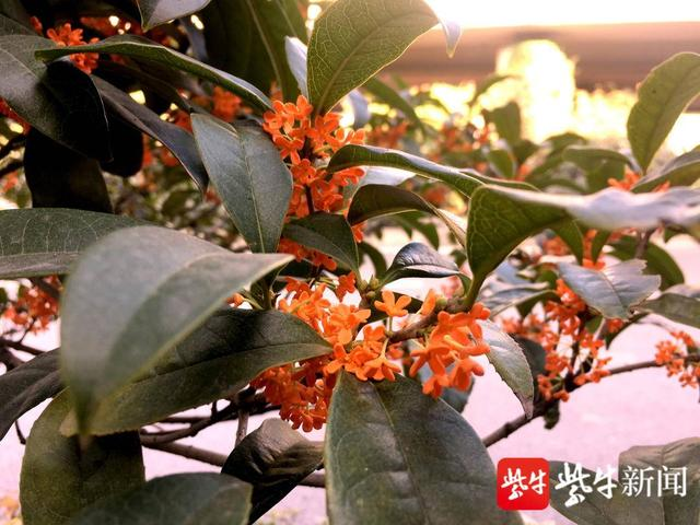 桂花品种,南京新庄立交桥下,惊现橘红桂花