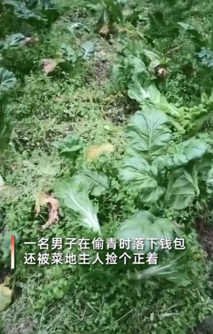 女人发觉自己大白菜被偷,田里出现意外捡到窃贼钱夹开启一看笑发