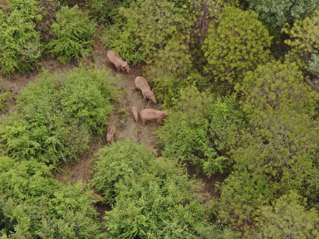 北迁象群在玉溪易门县十街乡活动,离群独象距象群约12公里 全球新闻风头榜 第4张