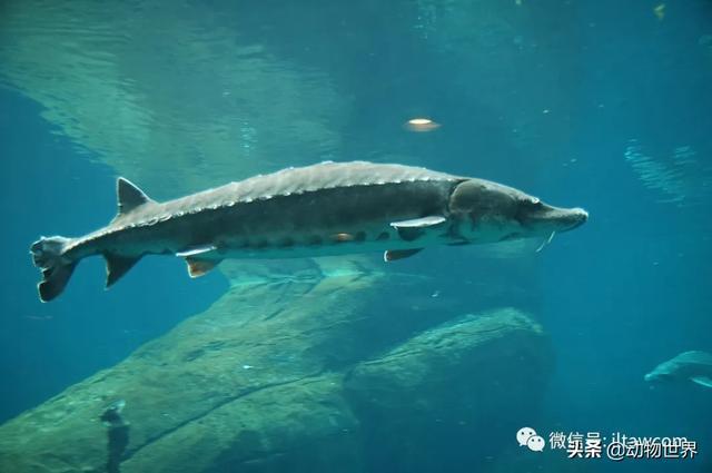 鱼品种,中国淡水鱼类图鉴(一)