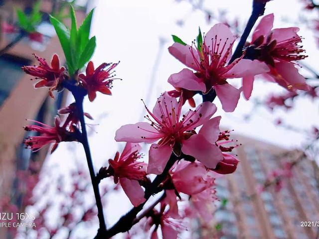 桃花的唯美句子,一树桃花一树诗,千树花语为谁知