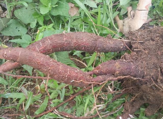 木薯图片,全株有剧毒,却被当主粮,如今我国也大量种植,制作各种美味