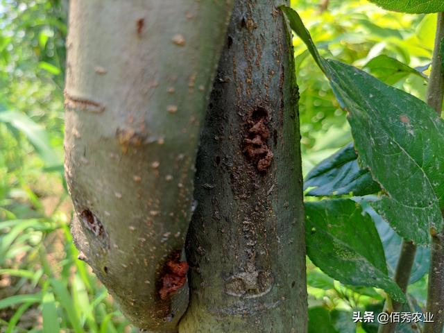 果树体内钻入蛀虫,喷施农药效果差,农业专家告诉你如何防治