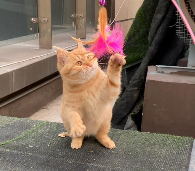 發現一隻斷尾橘貓,它渴望被愛,但又怕被傷害的樣子,太讓人心疼 家有萌寵 第7张