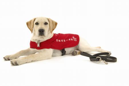 导盲犬品种,导盲犬:一种没有勋章,没有快乐,但却荣誉满身的狗狗