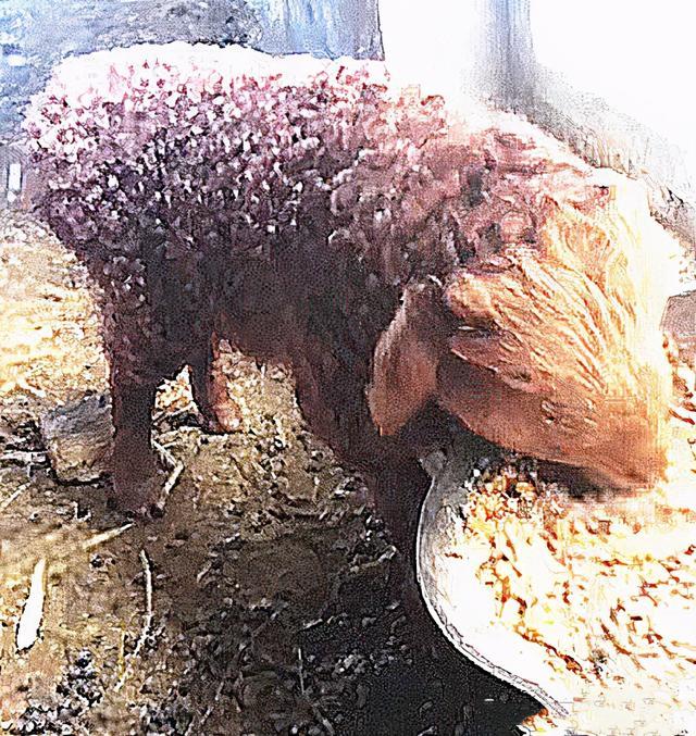 绵羊图片,母羊意外怀孕后,生下的幼崽模样让人困惑:咋看着这么眼熟?