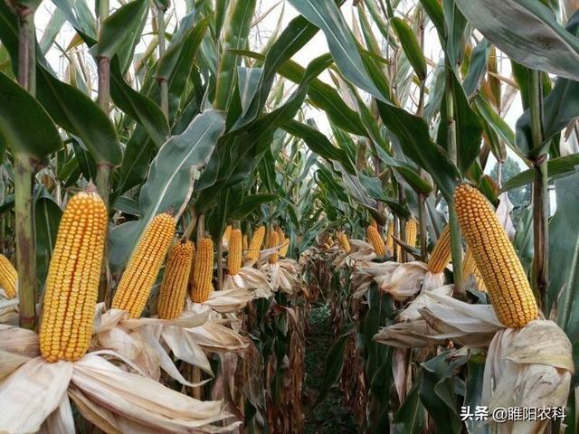 玉米种子品种,在我国种植面积最大的五个玉米品种,引领我国玉米新品种更新换代
